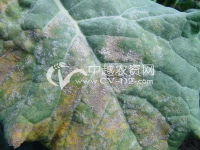 花椰菜霜霉病