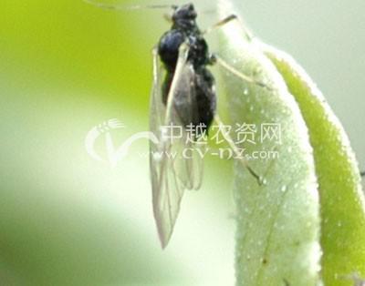 蚕豆修尾蚜