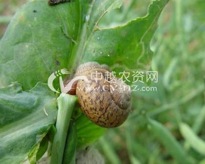 麻灰巴蜗牛