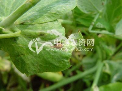 豌豆褐斑病