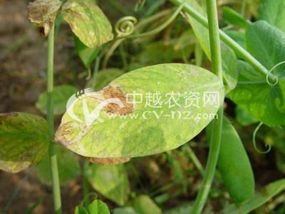 豌豆褐纹病