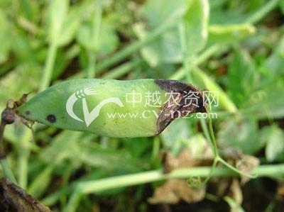 豌豆黑斑病
