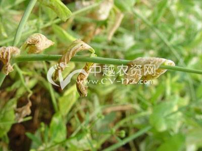 豌豆尖镰刀菌萎凋病