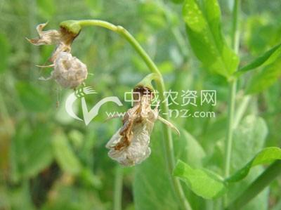 豌豆芽枯病