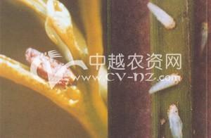 水稻白翅叶蝉