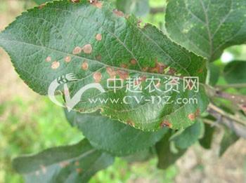 苹果斑点落叶病