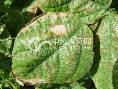 扁豆淡褐斑病