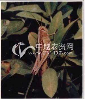 日本黄脊蝗