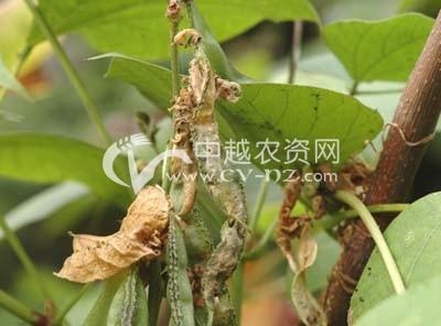 扁豆软腐病