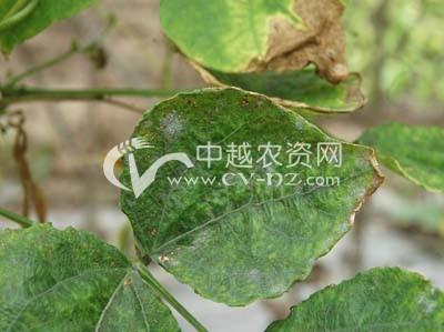 菜豆白粉病