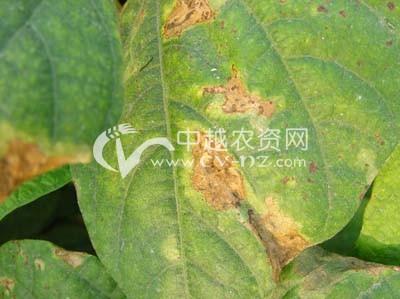 菜豆褐斑病