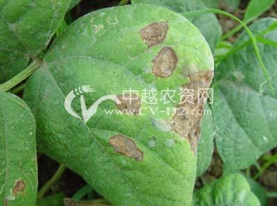 菜豆红斑病
