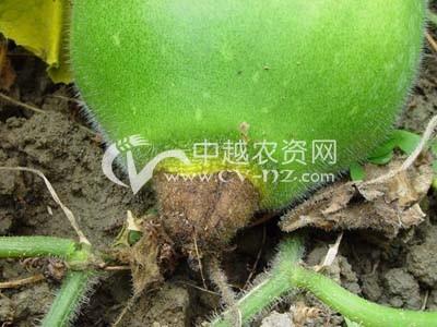 冬瓜褐腐病