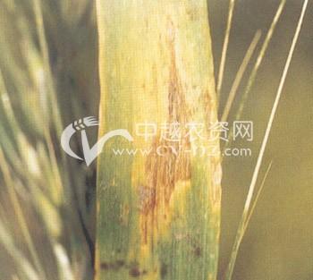 小麦斑枯病