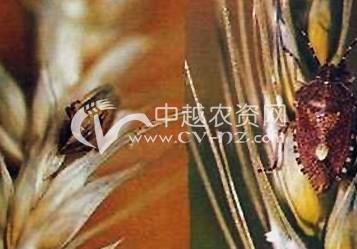 小麦斑须蝽