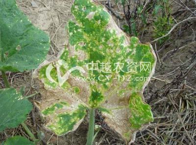 南瓜(壳针孢)角斑病