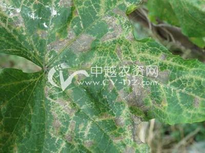 丝瓜细菌性角斑病