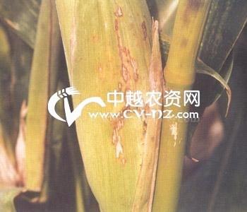 玉米链格孢菌叶枯病