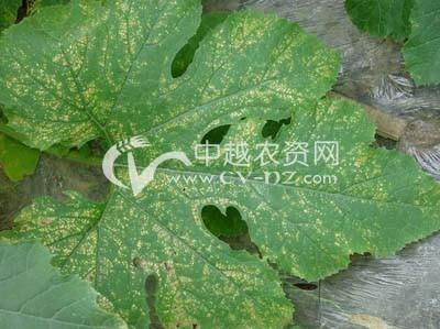 西葫芦细菌性叶斑病