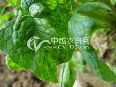 菠菜病毒病