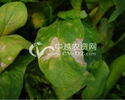 菠菜叶斑病