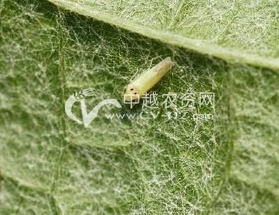 葡萄斑叶蝉