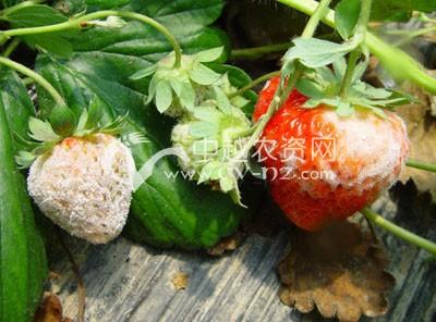 草莓白粉病