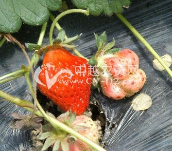 草莓畸形果