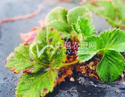 草莓细菌性叶斑病