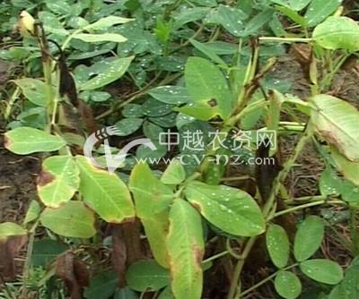 花生叶斑病