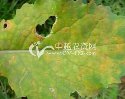 油菜黑斑病