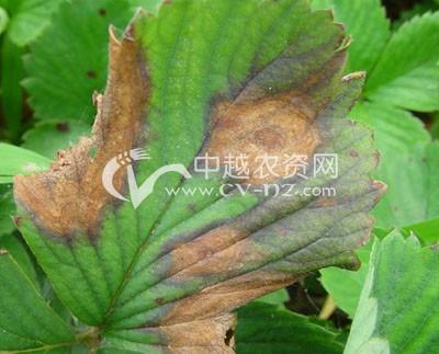草莓褐斑病