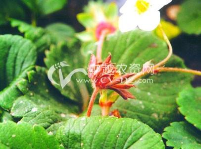 草莓芽枯病