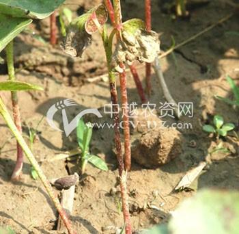 棉花茎枯病