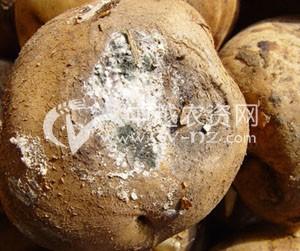 马铃薯白绢病