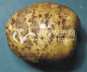 马铃薯疮痂病