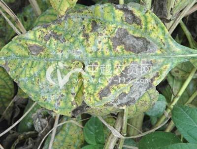 菊芋斑枯病