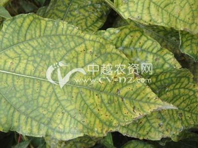 菊芋褐斑病