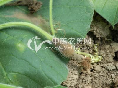 瓠瓜褐腐病