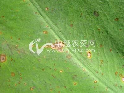 芋细菌性斑点病
