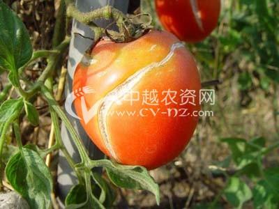 番茄镰刀菌果腐病