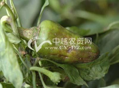 甜椒、辣椒病毒病