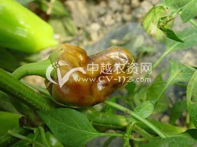 甜椒、辣椒脐腐病