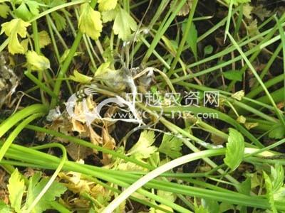 芹菜菌核病