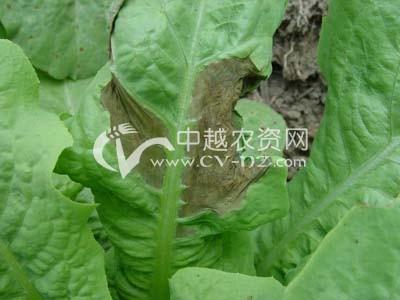 莴苣、莴笋腐败病