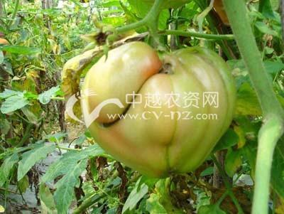 番茄变形果