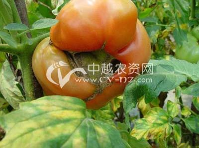 番茄穿孔果