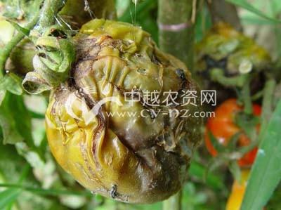 番茄假单孢果腐病