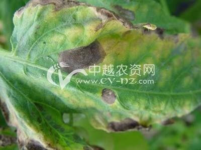 番茄灰叶斑病