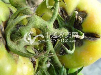 番茄假黑斑病